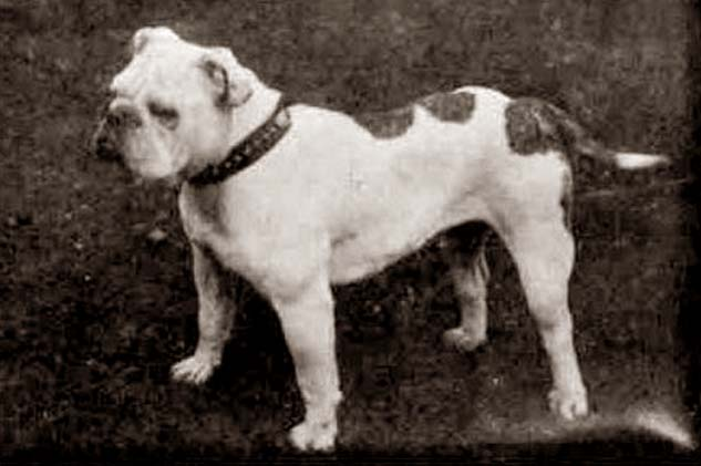 white english bull terrier 100 years ago. the english bulldog white bull terrier 100 years ago