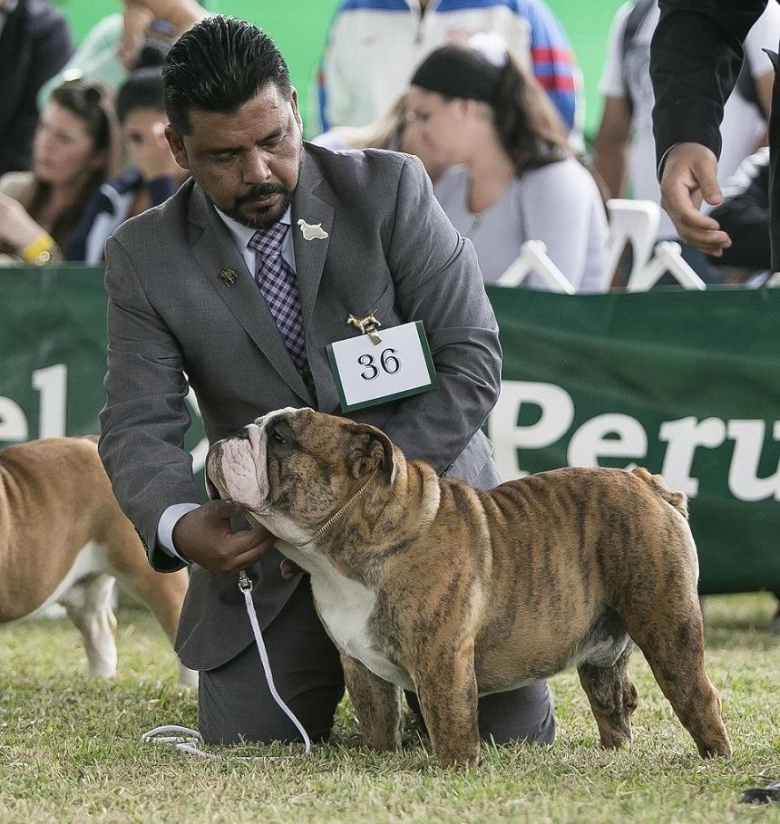 Banca Dati Dei Pedigree Del Bulldog Inglese